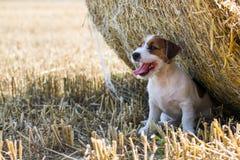 Levante actitudes más terier de Russel para una foto en campo del trigo segado Fotografía de archivo libre de regalías