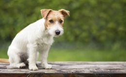 Levante el perrito lindo del animal doméstico de Russell que se sienta en un banco imagen de archivo