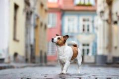 Levante el perro del terrier de Russell que presenta en la ciudad imagen de archivo libre de regalías