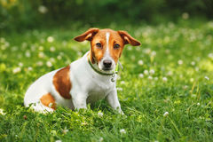 levante o terrier de russell para uma caminhada no parque Fotografia de Stock