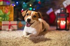 Levante a Russel debajo de un árbol de navidad con los regalos y mira al trasluz el celebr Imagen de archivo libre de regalías