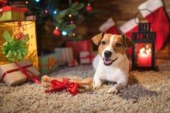 Levante a Russel debajo de un árbol de navidad con los regalos y mira al trasluz el celebr Imagenes de archivo