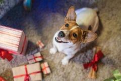 Levante a Russel debajo de un árbol de navidad con los regalos y mira al trasluz el celebr Fotos de archivo libres de regalías