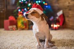 Levante a Russel debajo de un sombrero rojo de santa del árbol de navidad con los regalos y fotografía de archivo