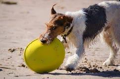 Levante a Russel Terrier con un disco volador en la playa Foto de archivo libre de regalías