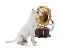 Levante Russell Terrier Fotos de archivo libres de regalías