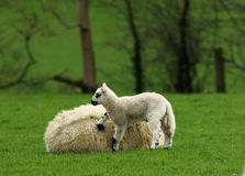 Levante-se o Mum Foto de Stock