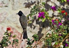 Levantine nightingale, Israel Royalty Free Stock Images