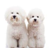 Levarsi in piedi dei due del bichon del frise cani di cucciolo Immagini Stock