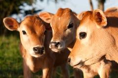 Levarsi in piedi sveglio dei tre dell'azienda agricola vitelli della mucca Fotografia Stock Libera da Diritti