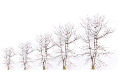 Level of barren tree on a white background Royalty Free Stock Photos