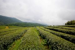 Level of green tea field. Royalty Free Stock Photography