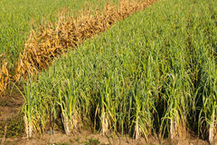 Levels with leeks. Large levels with leeks and a row of dry corn Royalty Free Stock Photo