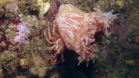 Levende Anemone Actinia in schoon transparant koud water van de Barentsz Zee stock videobeelden