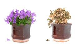 Levende en dode purpere bloemen in pot Royalty-vrije Stock Afbeeldingen