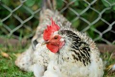 Levende kip in een aard royalty-vrije stock afbeeldingen