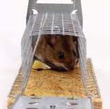 Levende opgesloten muis Royalty-vrije Stock Afbeelding