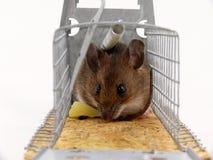 Levende opgesloten muis Stock Fotografie