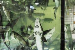 Levende steur in het aquarium Stock Fotografie