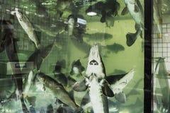 Levende steur in het aquarium Stock Afbeeldingen