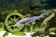 Levende steur in het aquarium Stock Foto's