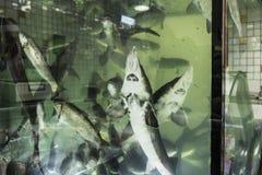 Levende steur in het aquarium Royalty-vrije Stock Afbeelding