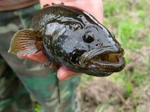 Levende vissen in een hand Royalty-vrije Stock Afbeelding