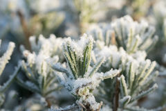 Levender with rime frost and snow Royalty Free Stock Images