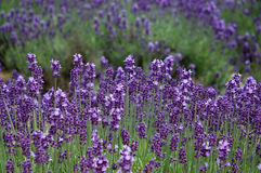 The levender violet field. The violet time of the summer Royalty Free Stock Image