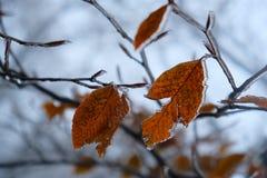 Levendig doorbladert met ijs stock fotografie