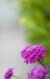 Levendig viooltje Royalty-vrije Stock Afbeeldingen
