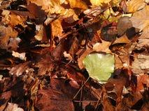 Levendige close-up van dalende de herfstbladeren met trillende backlight van de zon stock fotografie