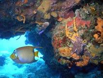 Levendige Coral Reef w Koningin Angelfish royalty-vrije stock afbeeldingen