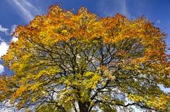 Levendige de herfsttree-top tegen een blauwe hemel backround Stock Afbeeldingen