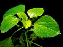 Levendige groene bladeren van Indische acalypha copperleaf in zwarte backgr royalty-vrije stock afbeeldingen