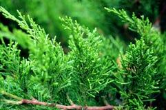 Levendige groene thuja Stock Foto