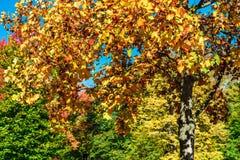 Levendige herfstkleuren van bladeren in het park Stock Foto's