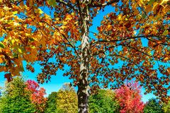 Levendige herfstkleuren van bladeren in het park Stock Afbeeldingen