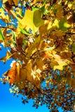 Levendige herfstkleuren van bladeren in het park Royalty-vrije Stock Afbeeldingen