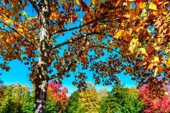 Levendige herfstkleuren van bladeren in het park Stock Foto