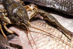Levendige kanker kruipt op een grote vis stock foto