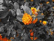 Levendige mooie haagbloem op zwart-witte achtergrond stock fotografie