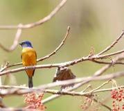 Levendige Niltava, vogel Stock Foto's