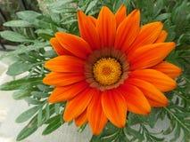 Levendige Oranje Bloem op de Groene Bladeren Royalty-vrije Stock Afbeeldingen