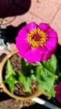 Levendige purpere en gele bloem royalty-vrije stock foto