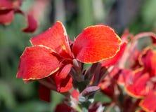 Levendige Rode Bloem met Gele versierings fijne lijnen stock fotografie