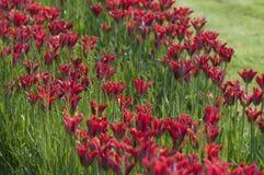 Levendige rode tulpenbloemen op een groene de lenteweide Royalty-vrije Stock Foto