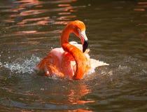 Levendige roze en rode flamingo Stock Fotografie