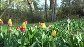Levendige tulpenbloemen, boom en prieel in de lentepark, tuin 4K stock video