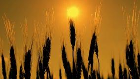 Lever de soleil au champ de blé banque de vidéos